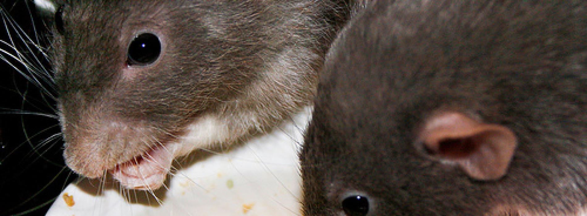 Lassa fever kills doctor in Rivers state